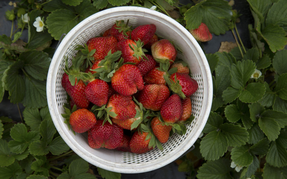 StrawberriesWadmalaw_1920_72